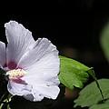 White Hibiscus by Saundra Lane Galloway