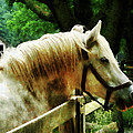 White Horse Closeup by Susan Savad