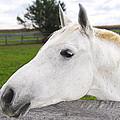 White Horse by Elena Elisseeva