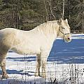 White Horse In Winter Maine by Keith Webber Jr