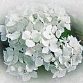 White Hydrangea by Mother Nature