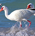 White Ibis On The Shore by Betsy Knapp