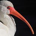 White Ibis Portrait by Bruce J Robinson
