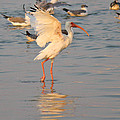White Ibis With Wings Raised by Roena King