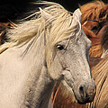 White Icelandic Horse by Tom and Pat Cory