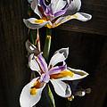 White Irises  by Daniele Smith
