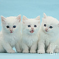 White Kittens by Mark Taylor