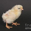 White Leghorn Chick by Ted Kinsman