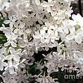 White Lilacs by Susan Carella
