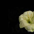 White Lily In The Dark by Ausra Huntington nee Paulauskaite