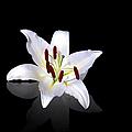 White Lily by Jane Rix