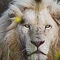 White Lion And Yellow Flowers by James Hill