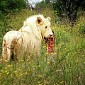 White Lion by Ronel Broderick