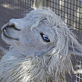 White Llama by Portraits By NC
