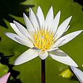 White Lotus by Kelley King