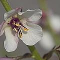White Mullein - Verbascum Lychnitis Wildflower by Kathy Clark