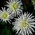 White Mums by Kathy Long