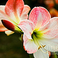 White N Pink by Syed Aqueel