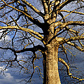 White Oak And Storm Clouds by Thomas R Fletcher