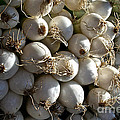 White Onions by Susan Herber