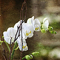 White Orchid by Diana Haronis