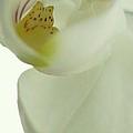 White Orchid Macro by Rosemarie Elizabeth Seppala
