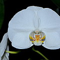 White Orchids 006 by George Bostian