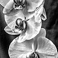 White Orchids by Naman Imagery