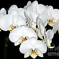 White Orchids On Black by Yurix Sardinelly