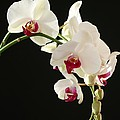 White Orchids by Sabrina L Ryan