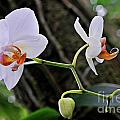 White Orchids by Sami Sarkis