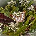 White Peacock Butterfly by Carol  Bradley