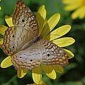 White Peacock Butterfly by Janice Semmel