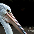 White Pelican by Kaye Menner