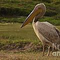 White Pelican by Mareko Marciniak
