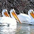 White Pelicans by Judy Garrett