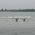 White Pelicans Rule by Nancy Taylor