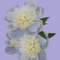 White Peonies On Lavender by Delores Knowles