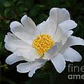 White Peony Flowers Series 4 by Eva Kaufman