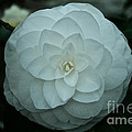 White Perfection by Susan Herber