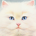 White Persian by MGL Meiklejohn Graphics Licensing
