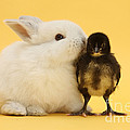 White Rabbit And Bantam Chick On Yellow by Mark Taylor