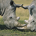 White Rhinoceros Ceratotherium Simum by Martin Withers