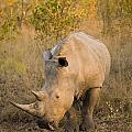 White Rhinoceros Ceratotherium Simum by Stuart Westmorland