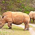 White Rhinoceros by Tom Gowanlock