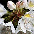 White Rhododendron Blooms  by Mel Hensley