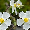 White Rock-rose (helianthemum Apenninum) by Bob Gibbons
