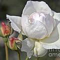 White Rose by Heiko Koehrer-Wagner