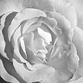 White Rose by Kevin Alpert