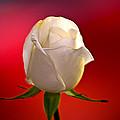 White Rose Red And Black Bg by Randall Branham